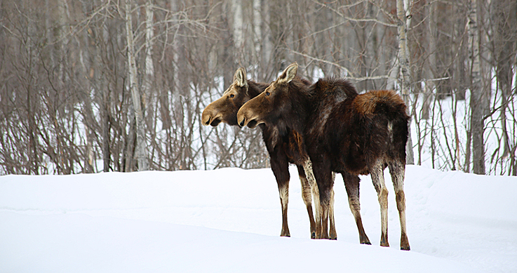 u.s. moose - Two moose in the winter