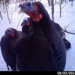 use trail cam - 3 turkeys