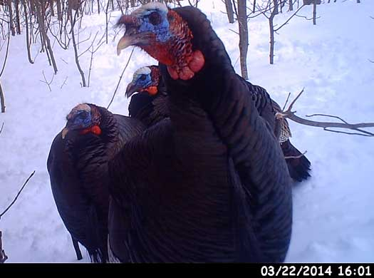 use trail cam - 3 turkeys