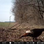 turkey-trailcam