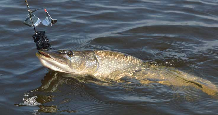 pike with black spinnerbait