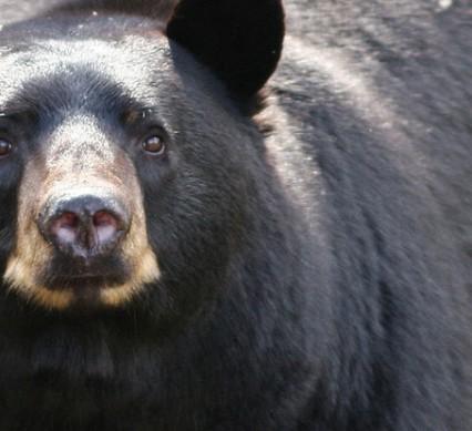 spring bear hunt is back
