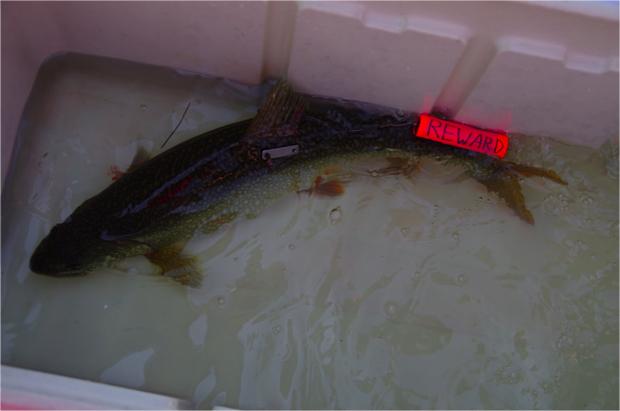 fish-tag