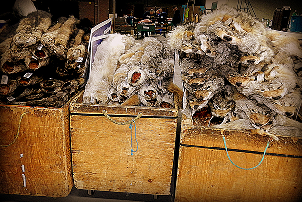 Pelts at auction