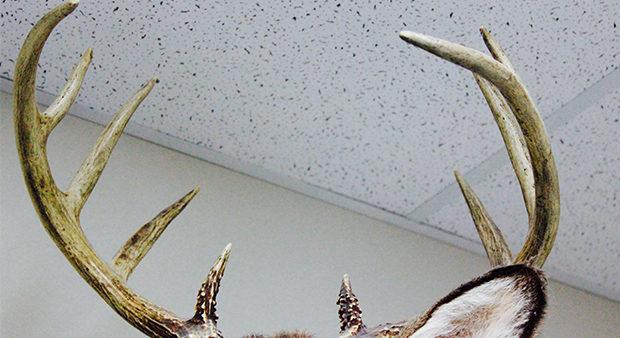 antlers stolen