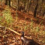 fall turkey
