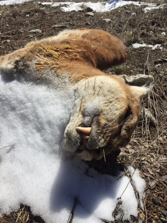 cougar - carcass