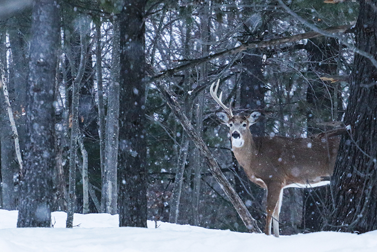 shed hunting - whitetail