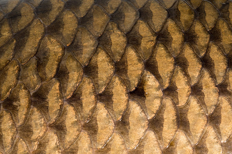 carp fly - scales