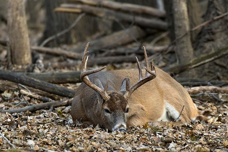 deer disease EHD