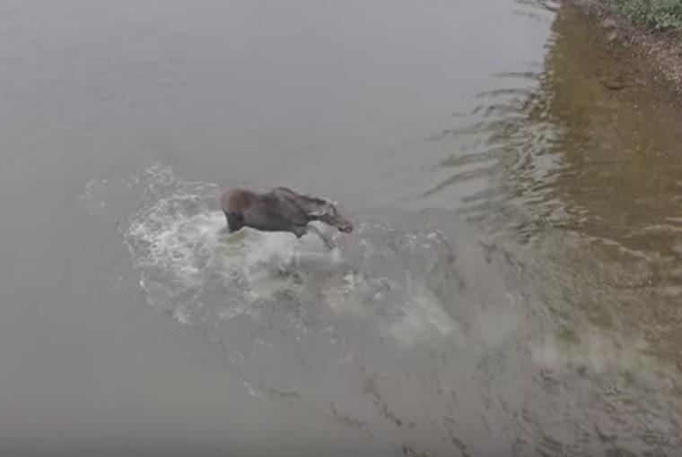 moose wolf video