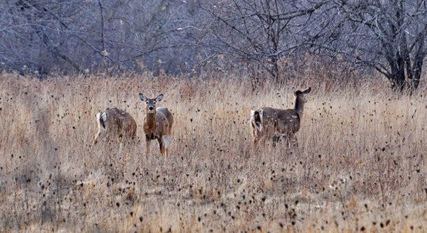 Point Pelee Deer Cull