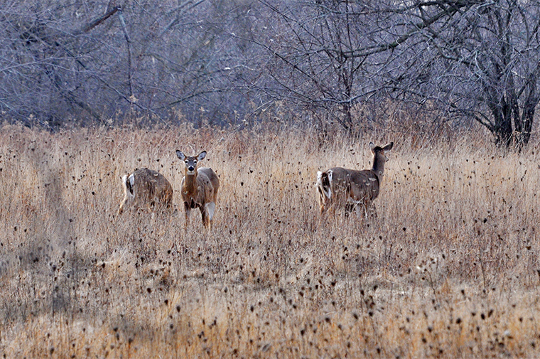 Point Pelee Deer Cull