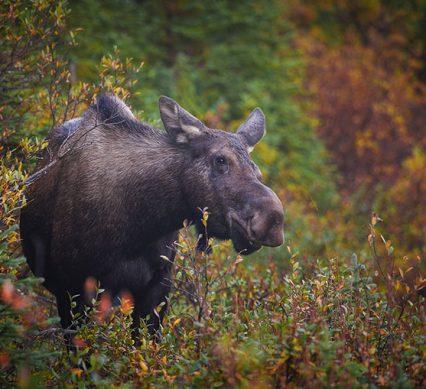 Moose validation numbers