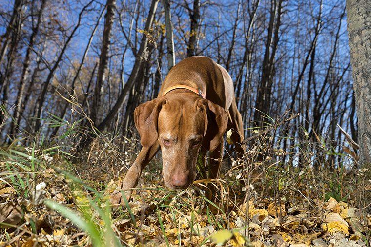 dog - blastomycosis
