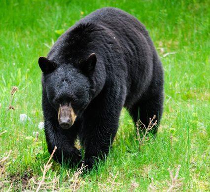 black bear gallbladders