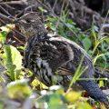 upland - grouse